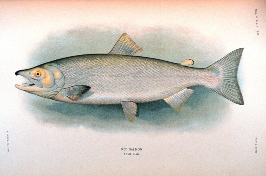 900x595 Red Or Sockeye Salmon Drawing