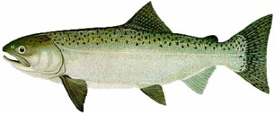 400x164 Types Of Salmon Found In Ketchikan Alaska L Salmon Facts On The 5