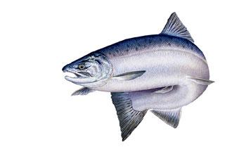 340x219 King Salmon Drawing