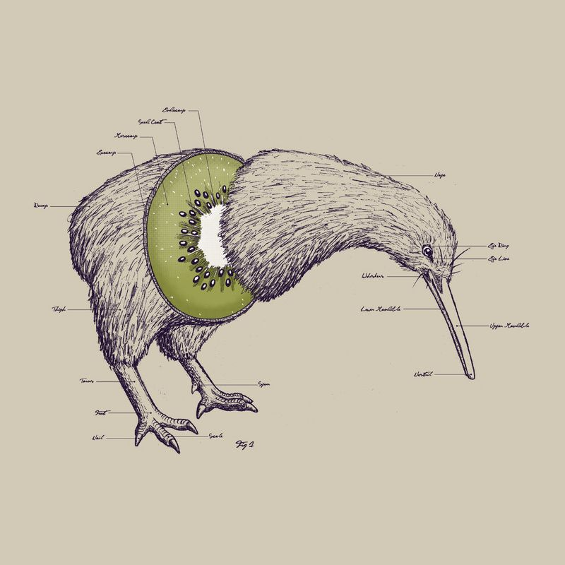 800x800 The Anatomy Of A Kiwi.