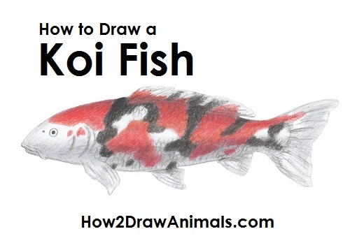 500x348 How To Draw A Koi Fish