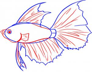 302x238 How To Draw A Betta Koi Fish Fish Drawings