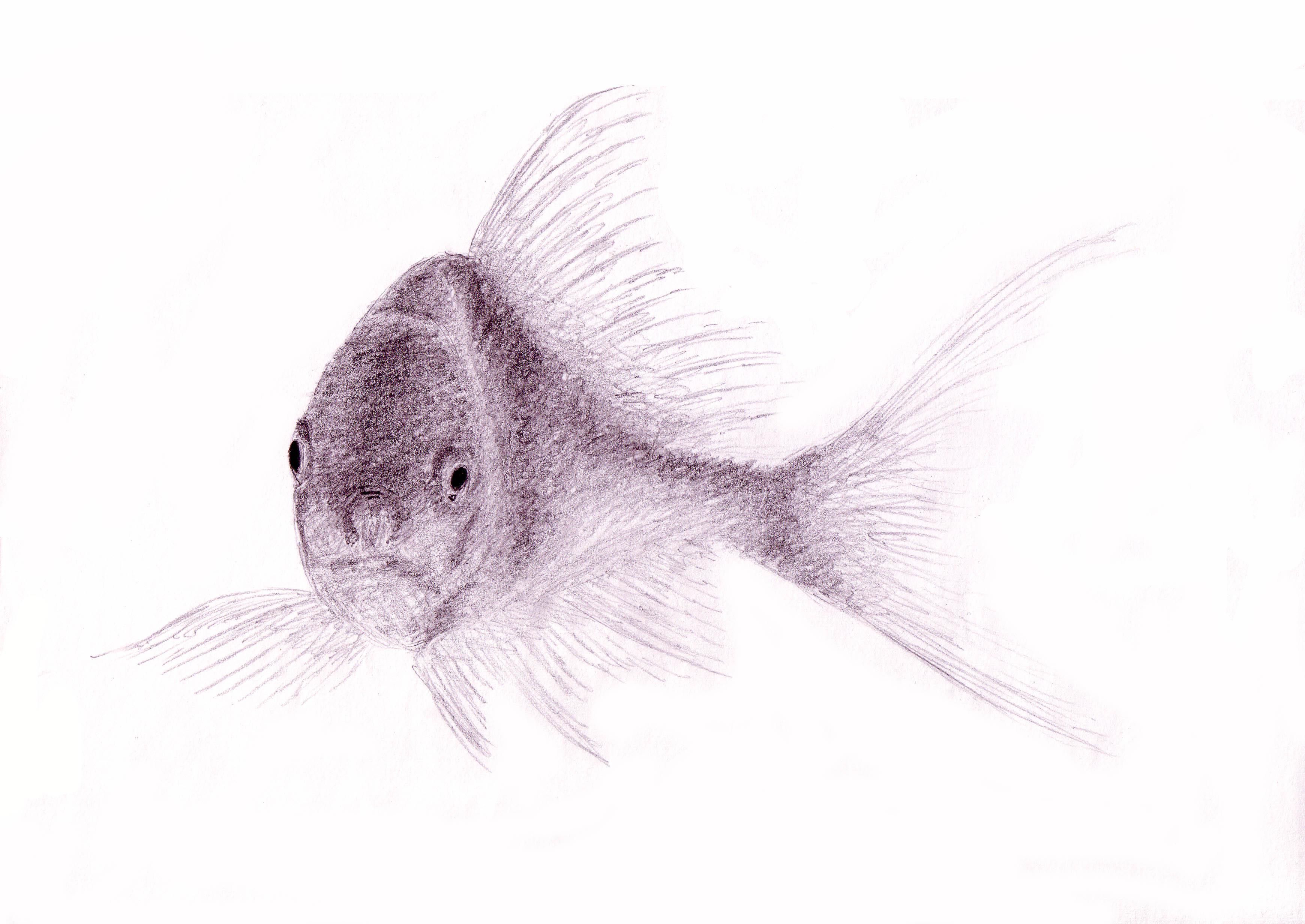 Koi Fish Pencil Drawing At Getdrawings Free Download