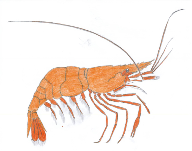 800x627 How To Draw Shrimp 8 Steps (With Pictures)