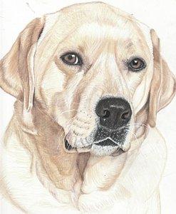 247x300 Lab Dog Drawings