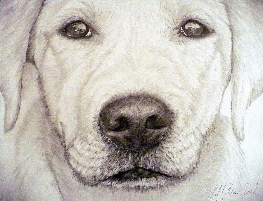 900x688 Labrador Drawing By Skyrah Saunders