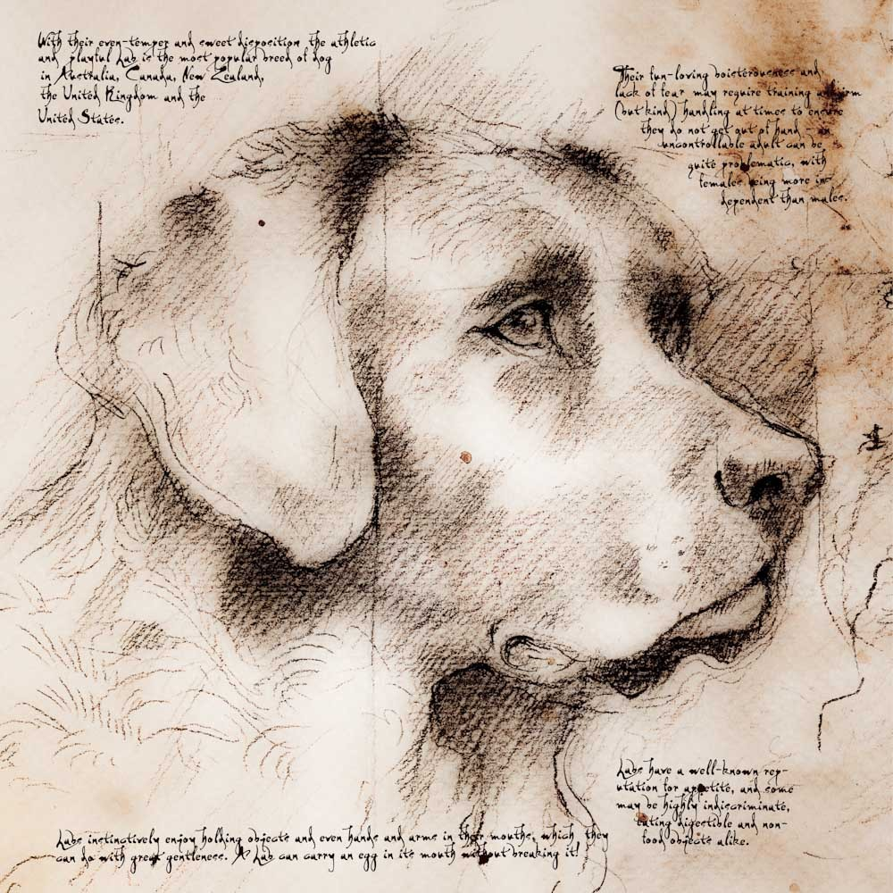1000x1000 Labrador Looking Right Detail Of A Da Vinci Style Drawing