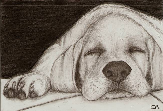 650x442 Stunning Black Lab Pencil Drawings And Illustrations For Sale