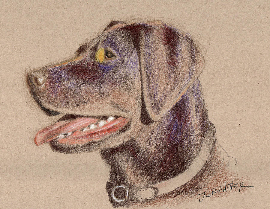900x699 Chocolate Lab Drawing By John Crowther
