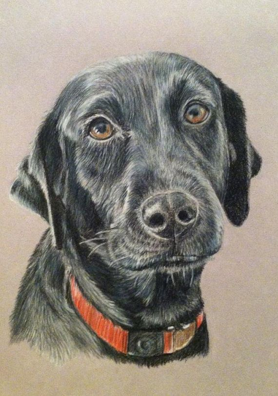 570x813 Custom Pet Portrait Colored Pencil Dog Drawing Black Lab Drawing