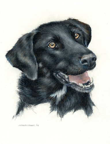 382x500 Leena Black Lab Drawing Prismacolor Drawing Copyright