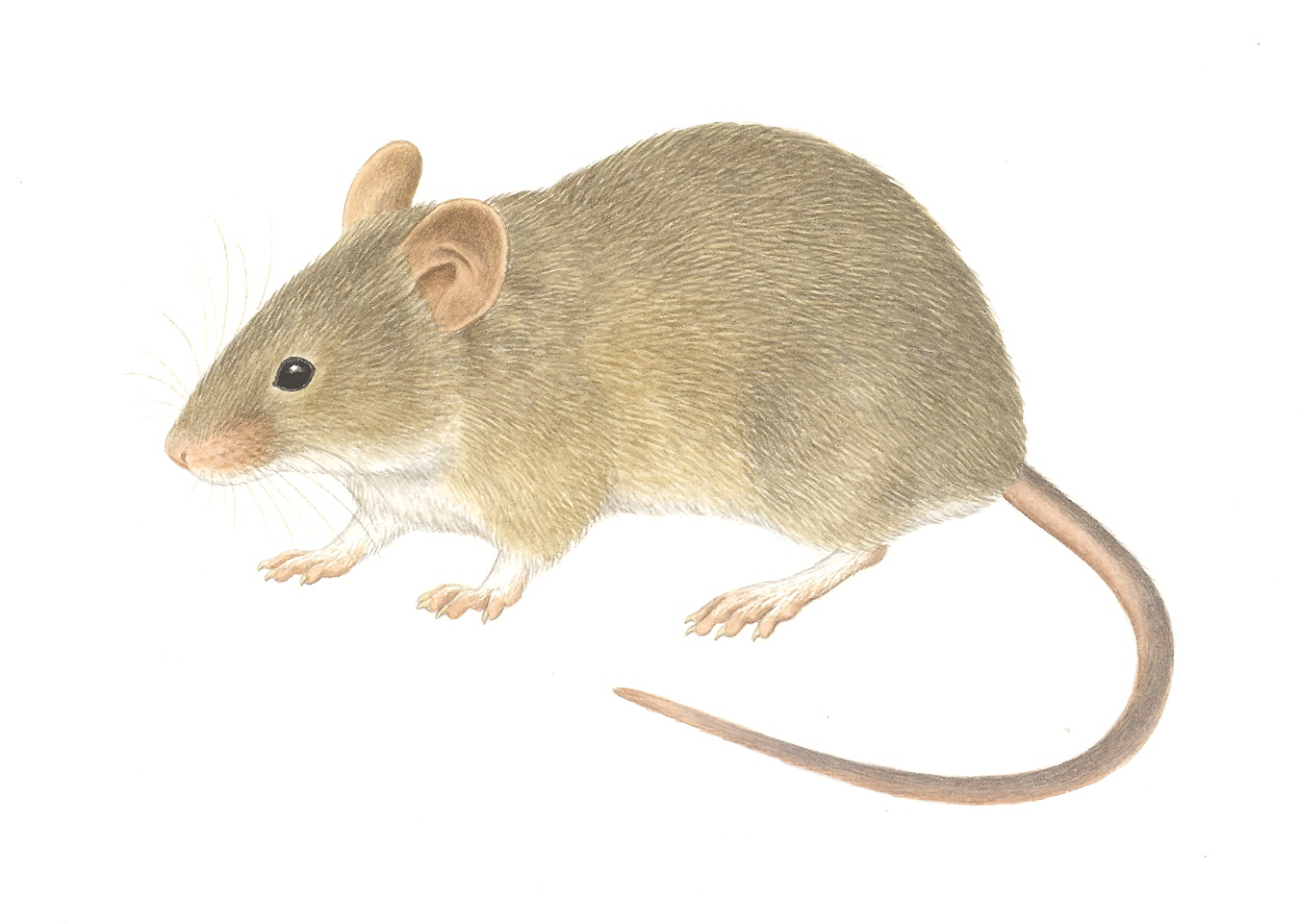 1350x961 An Introduction To The Laboratory Mouse Mus Musculus Society