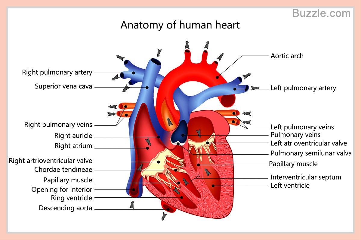 Labeled drawing of the heart at getdrawings free for personal 1200x800 a labeled diagram of the human heart you really need to see ccuart Images