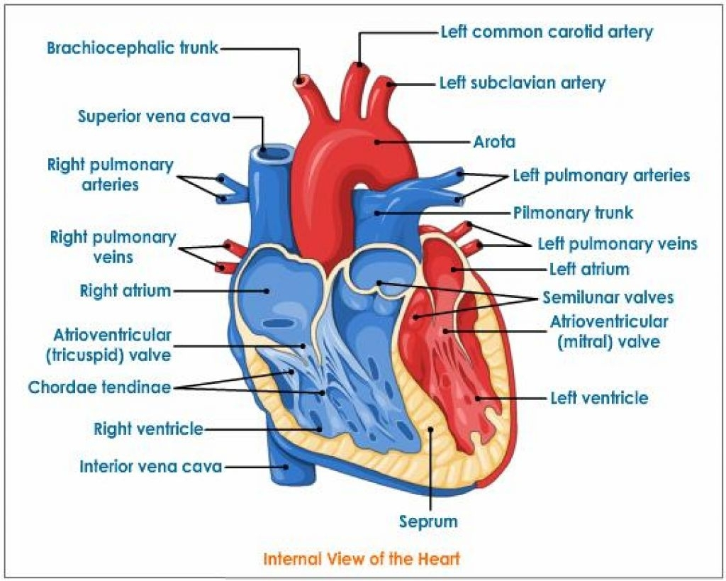 Labeled heart diagram akbaeenw labeled heart diagram ccuart