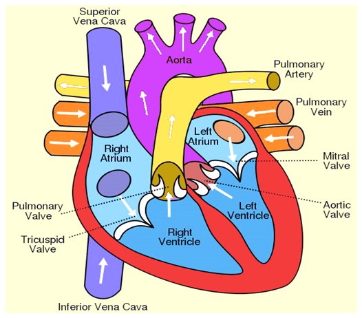 Labeled drawing of the heart at getdrawings free for personal 526x462 heart diagram anatomy of heart different parts of the heart ccuart Choice Image
