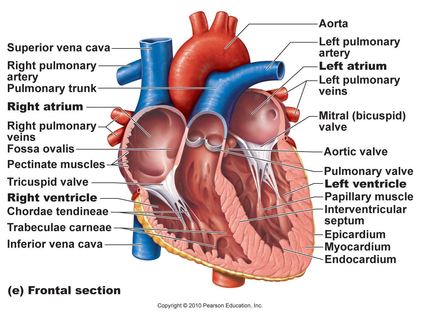 Labeled drawing of the heart at getdrawings free for personal 1344x1008 human anatomy diagram frontal section trabeculae carneae heart ccuart Choice Image