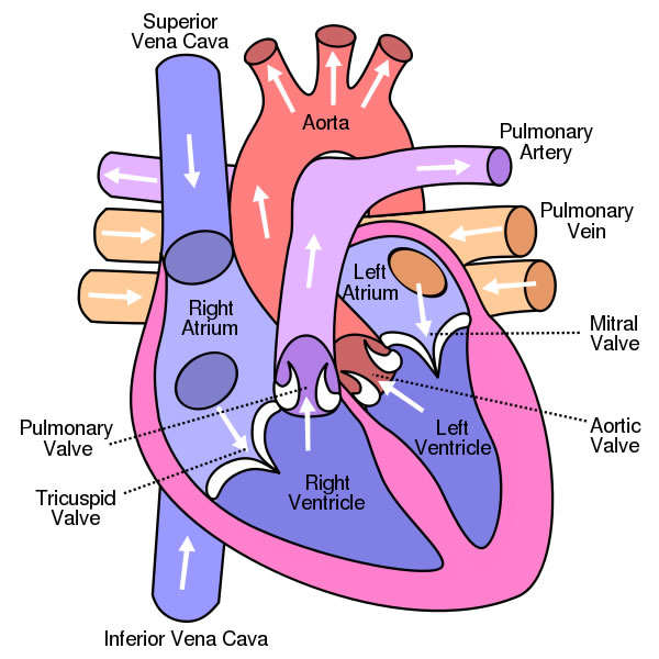 Labeled drawing of the heart at getdrawings free for personal 600x600 human heart diagram ccuart Image collections