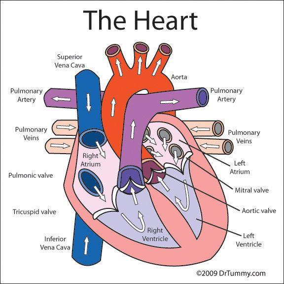 576x575 Human Heart Diagram Labeled For Kids Random Heart