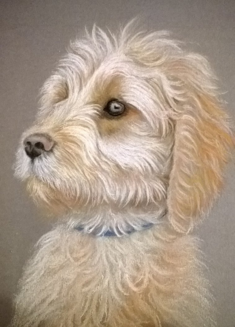 758x1053 Labradoodle, Pastel Pencil Drawing By Donnabe