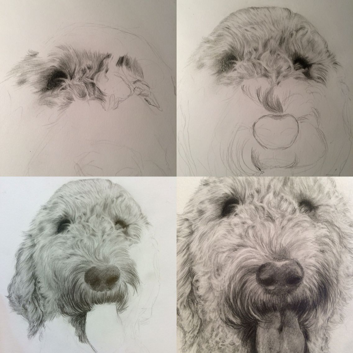 1136x1136 Stages Of Drawing Doug The Labradoodle, A4 Commission Pencil