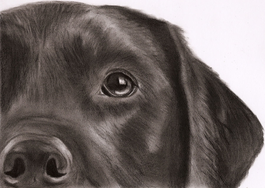 900x639 Black Labrador Drawing By ~dizzywater On Burning