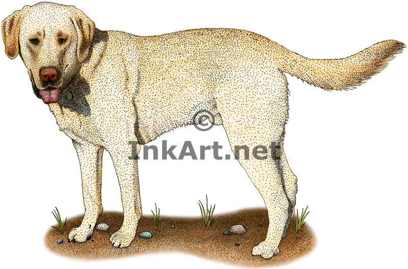 800x529 Yellow Labrador Retriever Stock Art Illustration