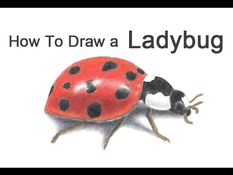 480x360 How To Draw A Ladybug (Ladybird)