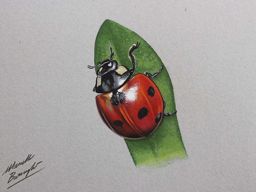 900x675 Ladybug Drawing By Marcello Barenghi By Marcellobarenghi