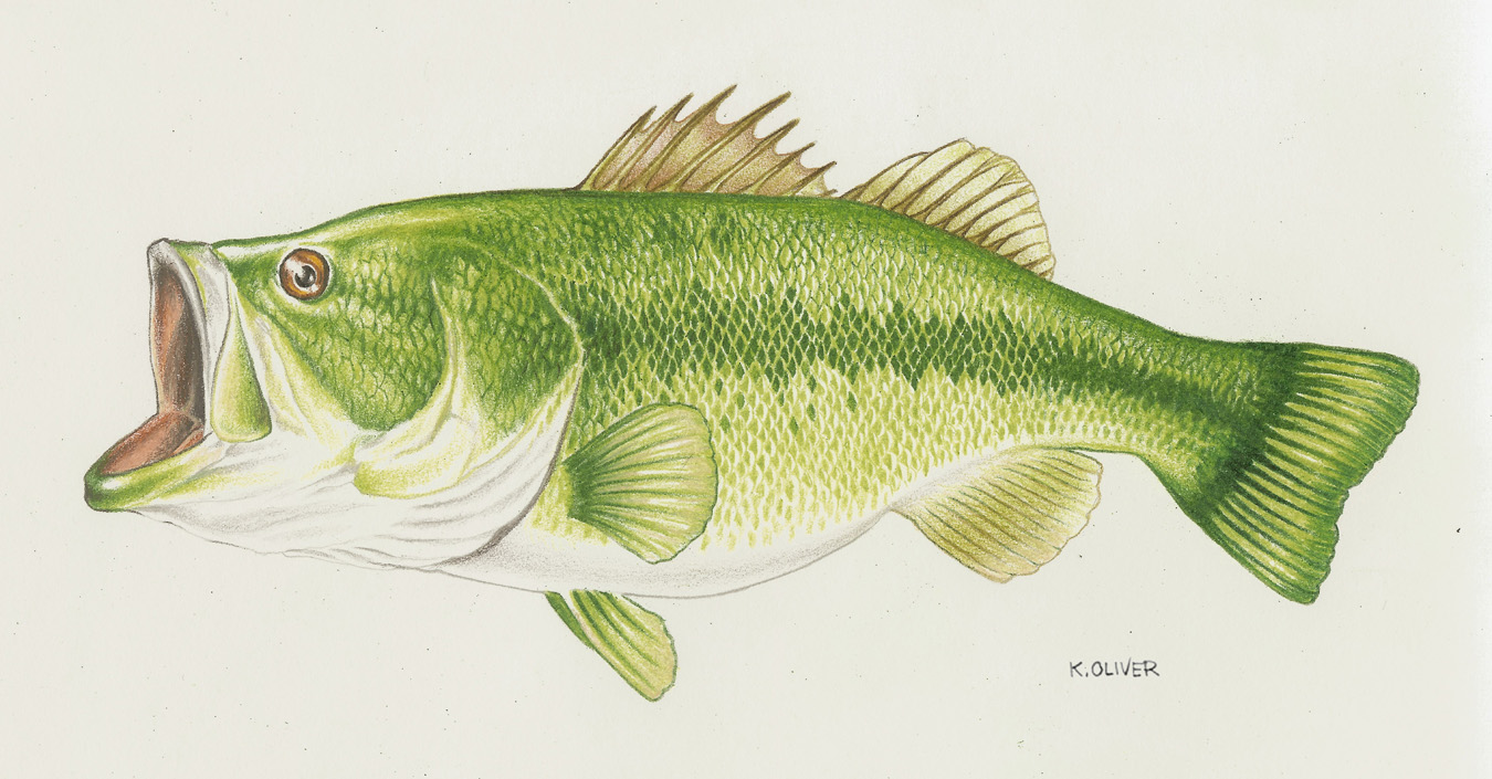 Large Mouth Bass Drawing at GetDrawings.com | Free for personal use ...