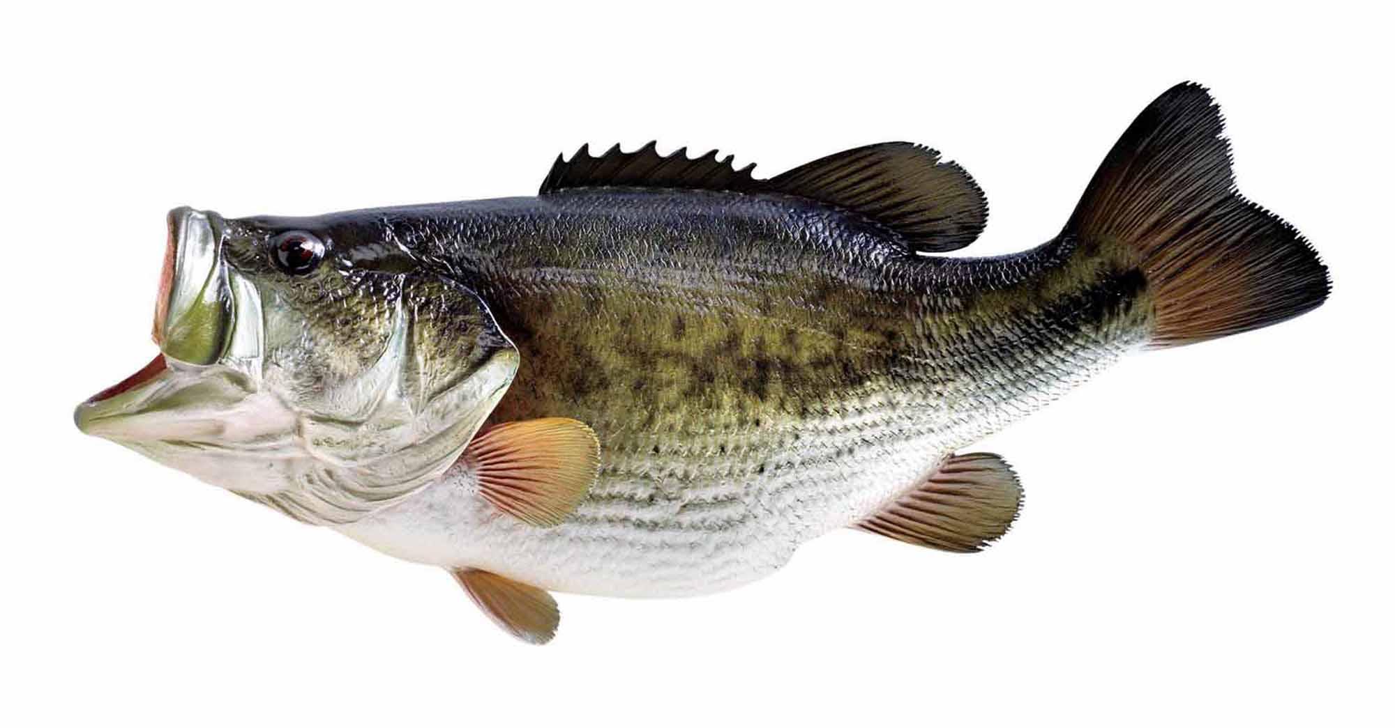 2000x1045 Largemouth Bass Wallpapers