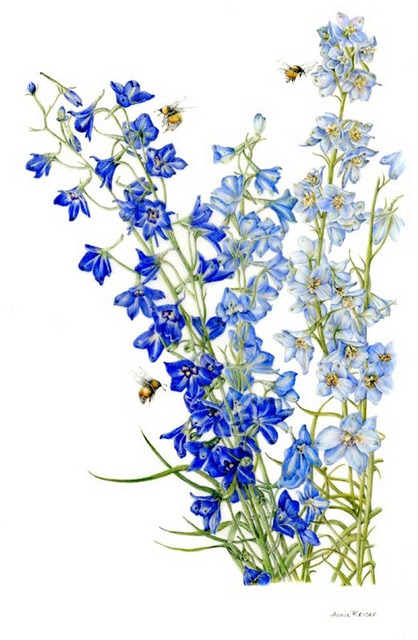 418x640 Larkspur, Colored Pencil, By Annie Reiser Arty Stuff