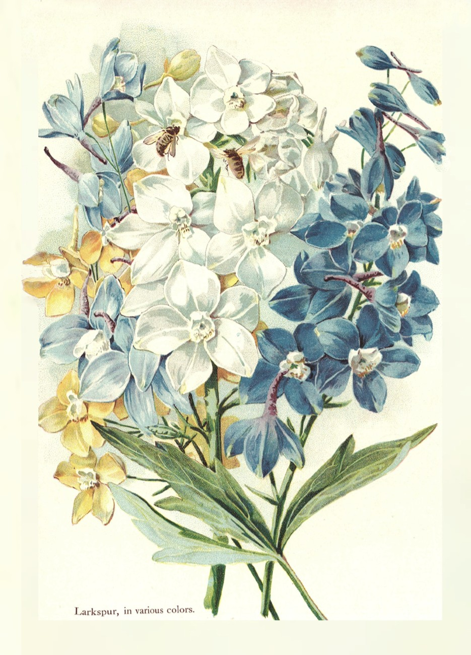 935x1300 Larkspur Bontanical Print. July Birth Flower. I Like This Look