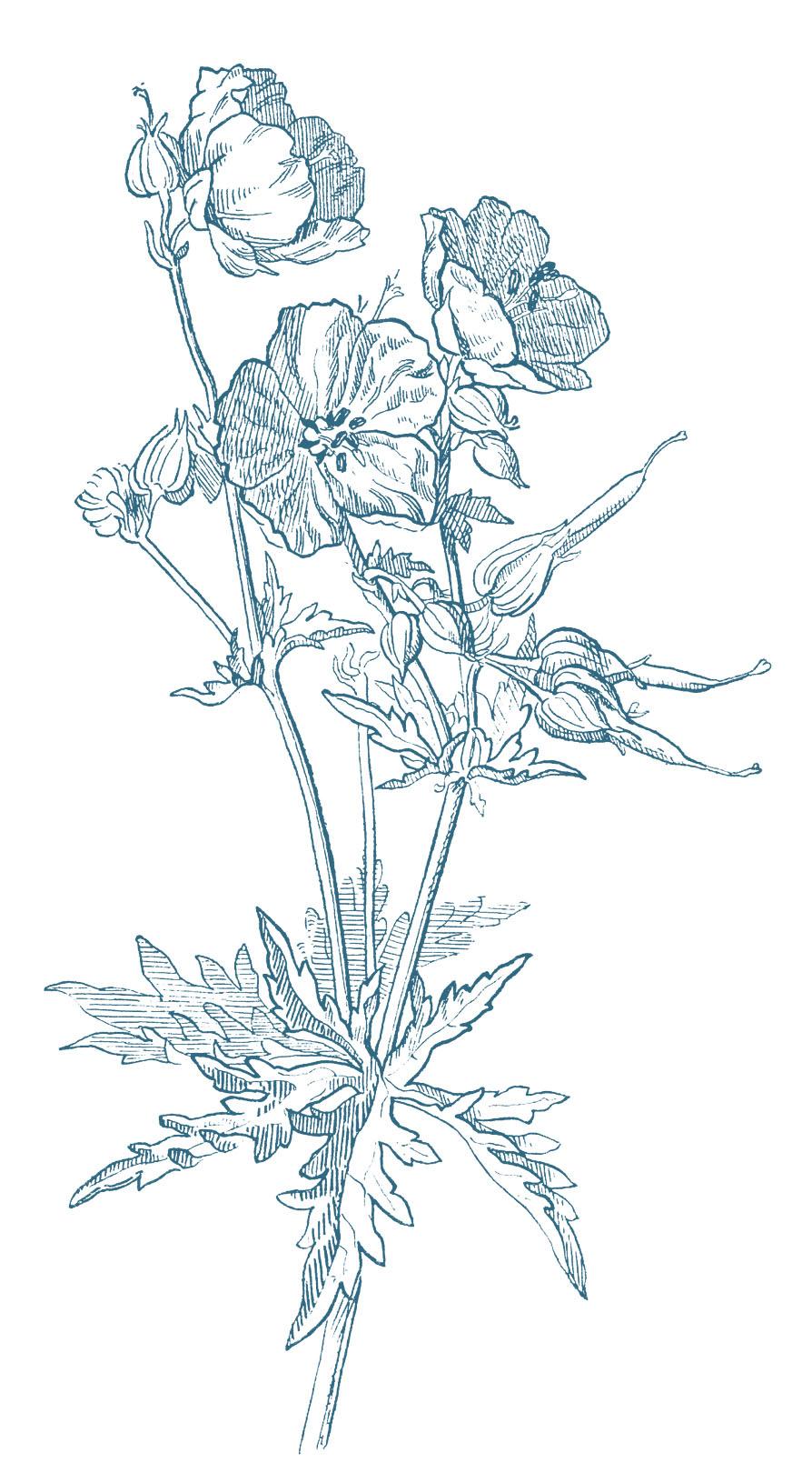 894x1620 Beautiful Wild Geranium Drawing