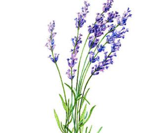 340x270 Lavender Botanical Drawing Lavender Drawing Botanical