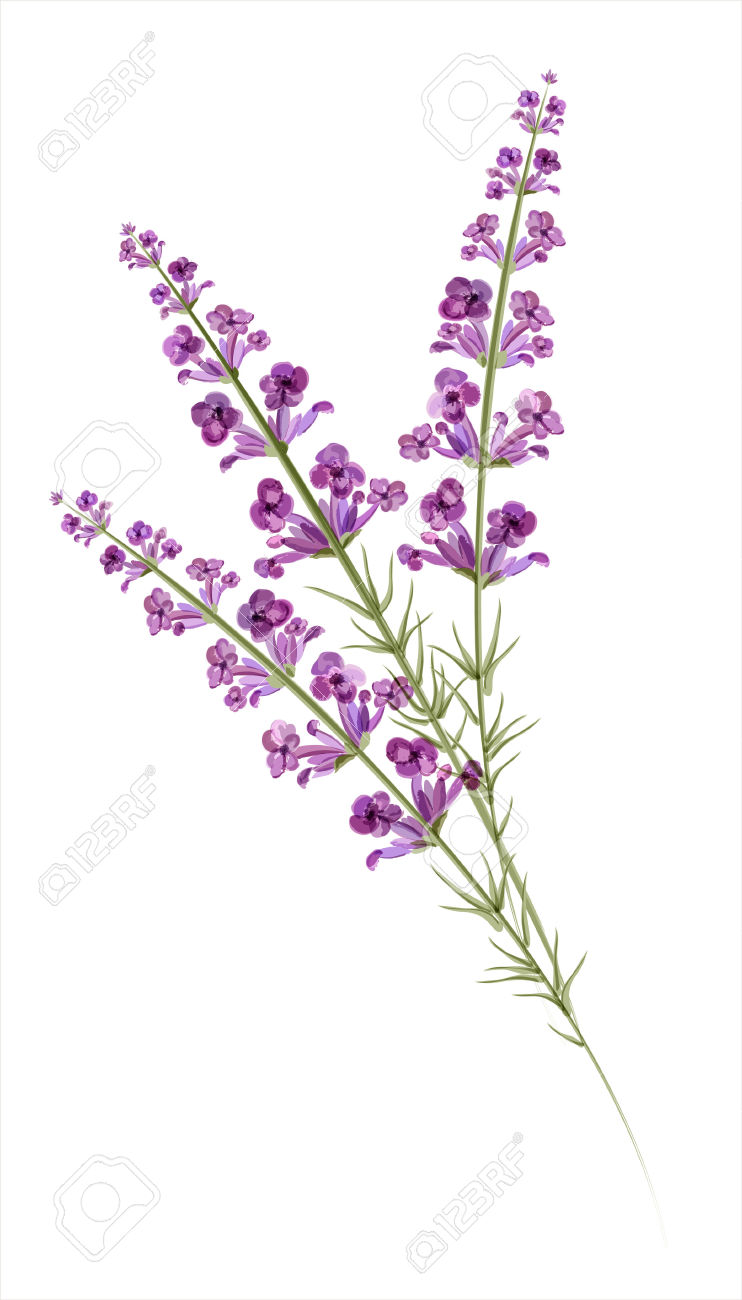 742x1300 Lavender Drawing