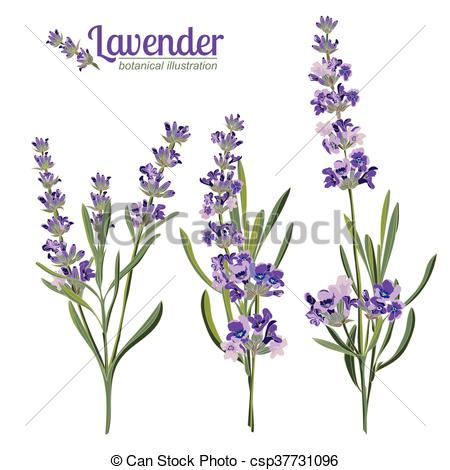 450x470 Lavender Flowers Elements. Botanical Illustration. Lavender Eps