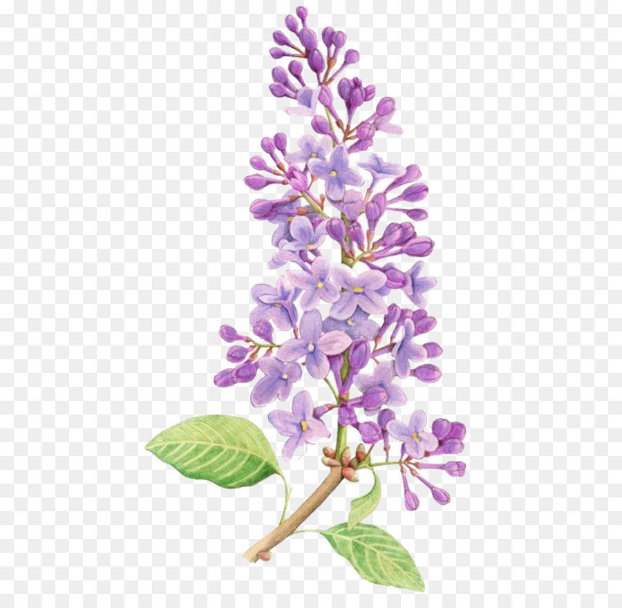Lavender Flower Drawing at GetDrawings.com | Free for personal use ...