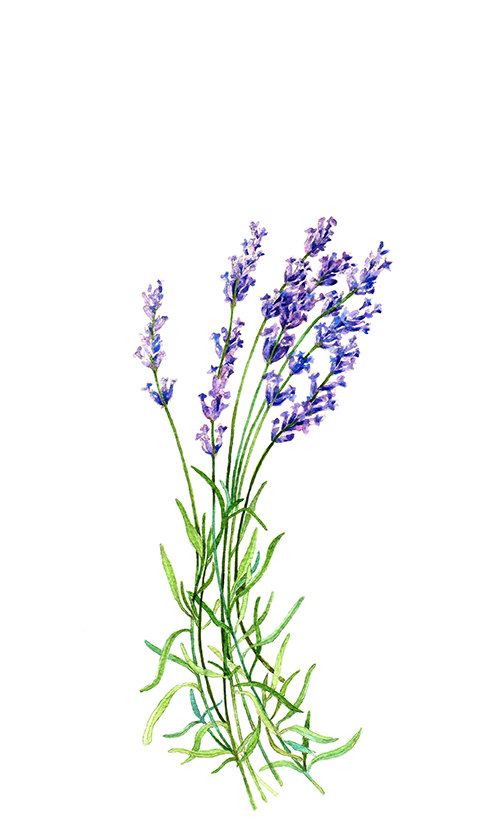 499x834 Lavender Botanical Print Illustration Watercolor Garden Summer