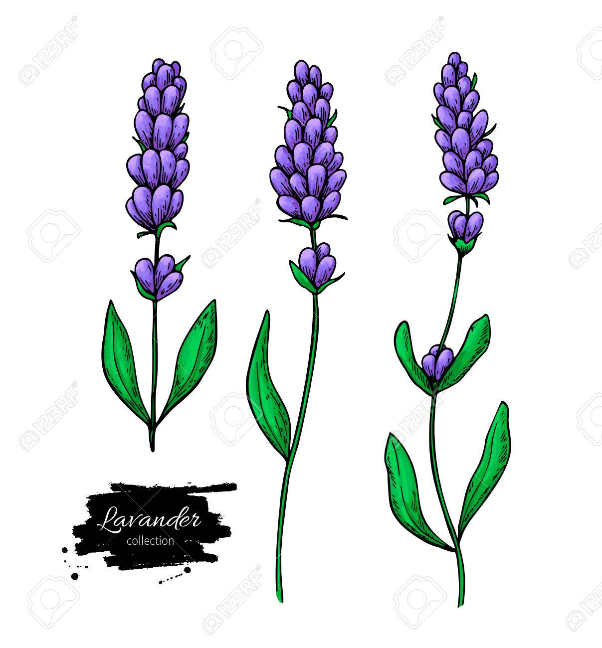 1207x1300 Lavender Vector Drawing Set. Isolated Wild Flower And Leaves
