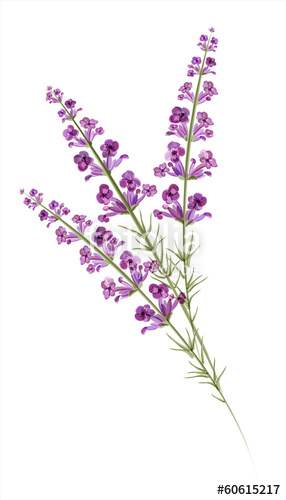 286x500 Lavender. Watercolor Drawing. Vector Stock Image And Royalty Free