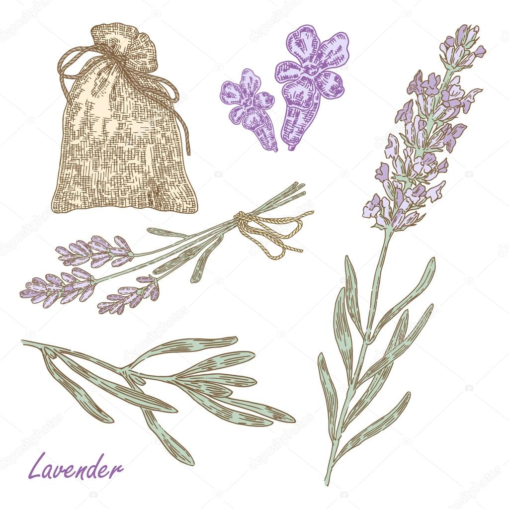 1024x1024 Plant Lavender. Vector Illustration In Sketch Style Stock Vector
