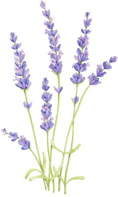 236x394 Lavender Plant Drawing