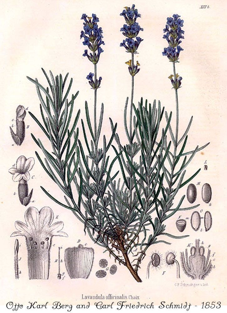 725x1000 Lavender Scientific Illustration