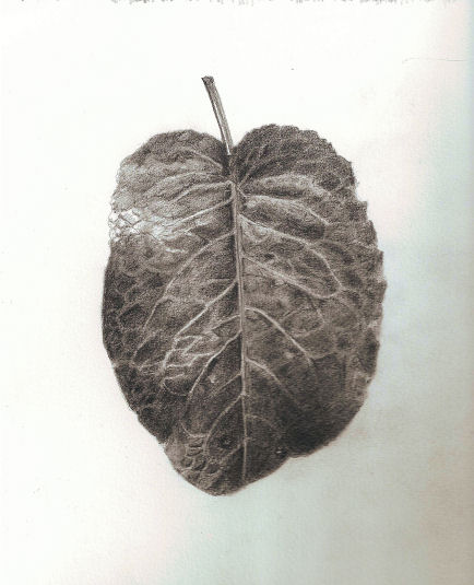 434x535 Leaves In Pencil