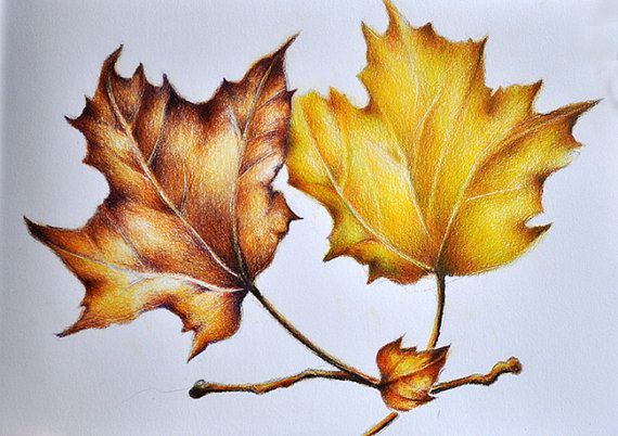 570x402 Original Colored Pencil Drawing, Realist Botanical Leaves Drawing