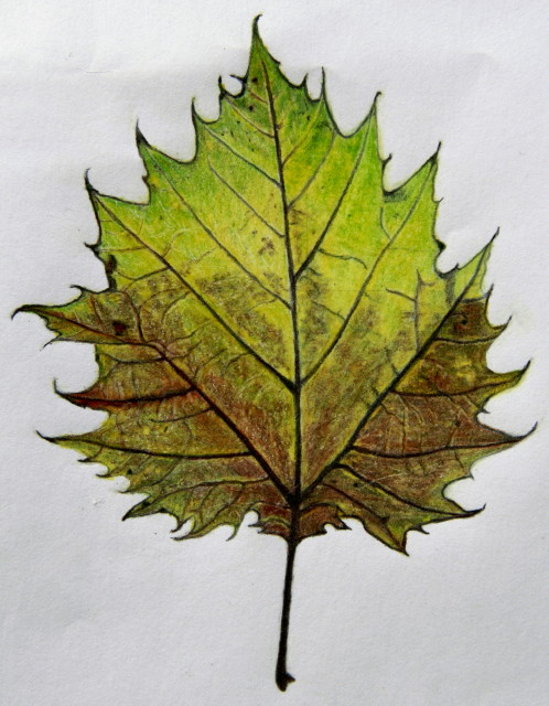 498x640 Pictures Colored Pencil Drawings Of Leaves,