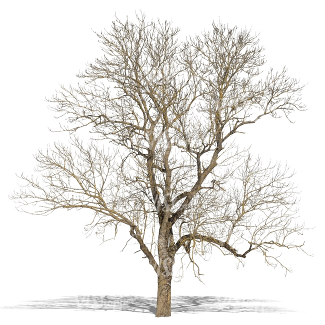 650x650 Cut Out Big Leafless Tree In Wintertime