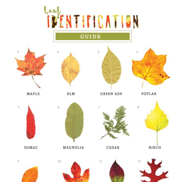600x600 Leaf Identification Game Leaf Identification, Leaves And Child
