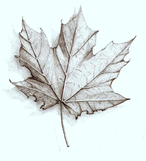 Pencil Sketches Leaves
