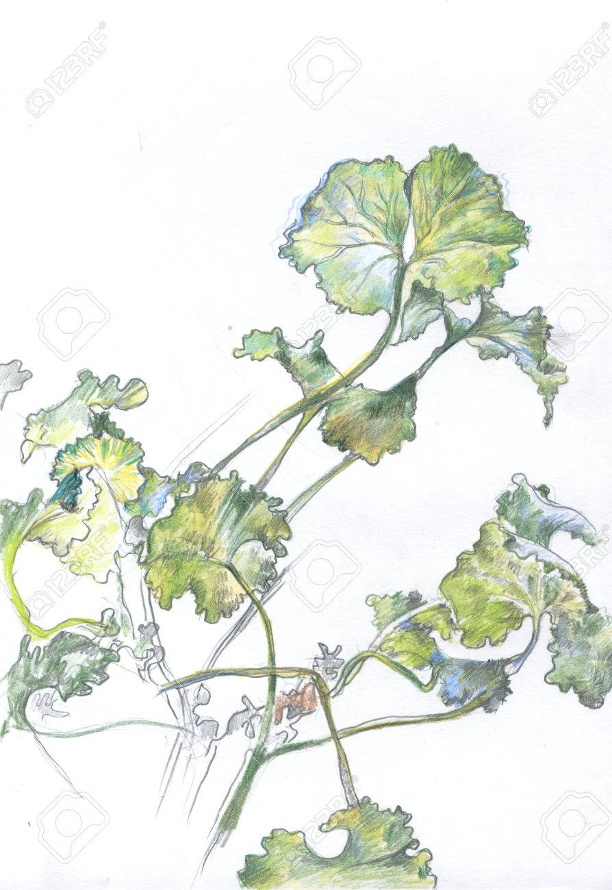 894x1300 Pencil Drawing Of Geranium Leaves Stock Photo, Picture And Royalty